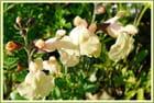 Sauge microphylla Melen Jaune