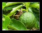 Sauterelle sur citronnier