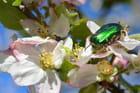 Scarabée doré fleuri