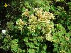 Sempervivum Beauty