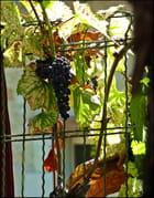 Septembre et les raisins......