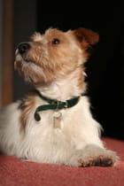 Séthi,  Jack Russell terrier