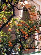 Oranger à l'Alcázar