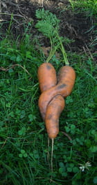 Sexy carottes bis