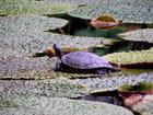 Sieste de tortue