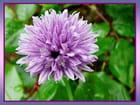 Simple fleur de ciboulette