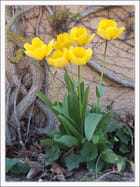 Simples tulipes