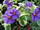 Solanum panaché