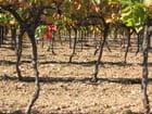 Sous la jupe de la vigne