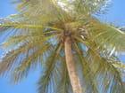 Sous le cocotier