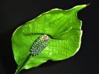 Spathiphyllum vert