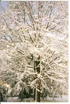 Splendeur d'un arbre sous la neige