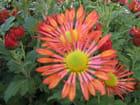Superbe chrysanthème