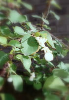 Symphorine blanche