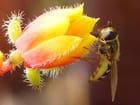 Syrphe et fleur d'echeveria