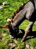 T^te de mule