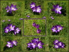 Tableau de crocus (Juliane)