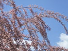 Tamaris du printemps
