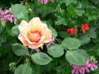 TANGO la rose de Vence