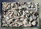 Tapis d'huitres