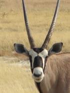 Tête d'oryx