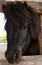 tête de poney