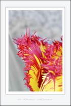 Tiens, une nouvelle tulipe (dh)