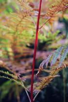 Tige rouge de fougère
