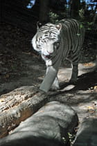 Tigre blanc à Beauval