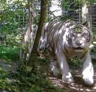 Tigre blanc de Beauval Val de Loire