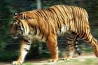 Tigre en balade, bis…