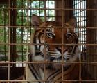 Tigre en cage