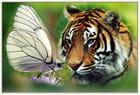 Tigre papillon de cricou