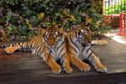 Tigres enchainés