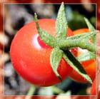 Tomate du jardin