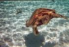 Tortue dans la lagon