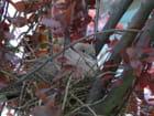 Tourterelle au nid