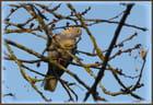 Tourterelle sur une branche du griottier