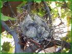 Tourterelles au nid