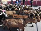 Transhumance des chèvres