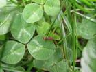 Trèfle et fourmi