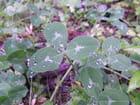 Trèfles et pluie