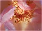 Trésor de la rose