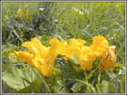 trio de fleurs de courgettes