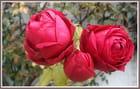 Trio de roses rouges