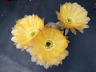 Trio jaune