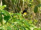 Troides aeacus thomsoni (fem)