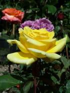 Trois couleurs de roses