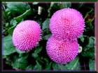 Trois  fleurs