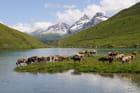 Troupeau de vaches dans les Alpes